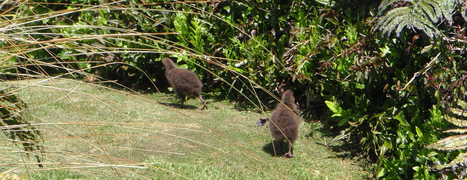 Weka chicks in the garden