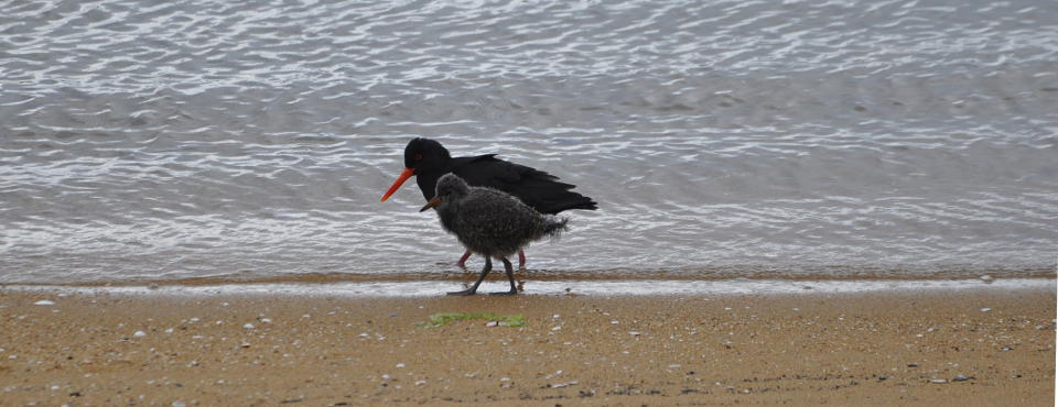 Oystercatchers at the beach