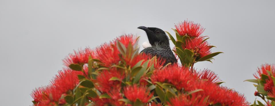 Resident Tui at the Rata tree