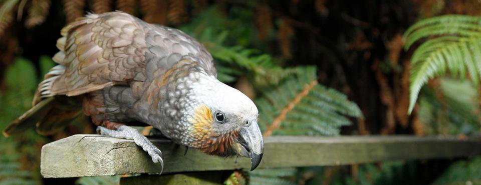 Kaka parrot visiting