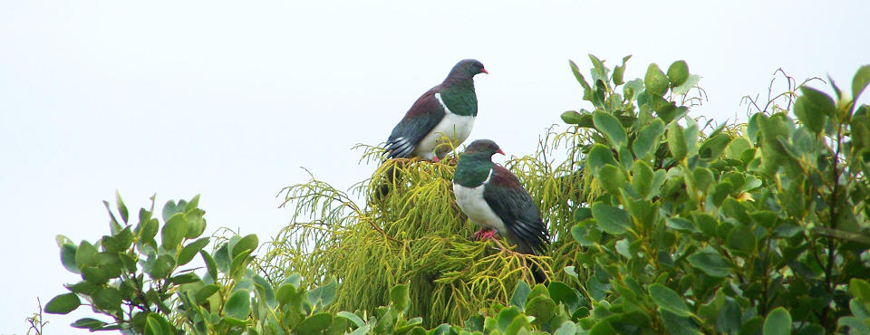 Wildlife encounters at the Lodge - Wood Pigeons