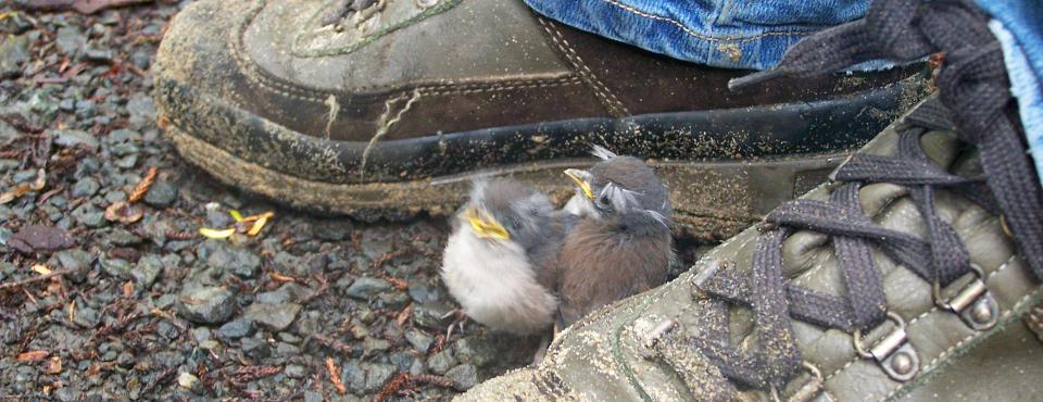 Curious robins at Ulva Island