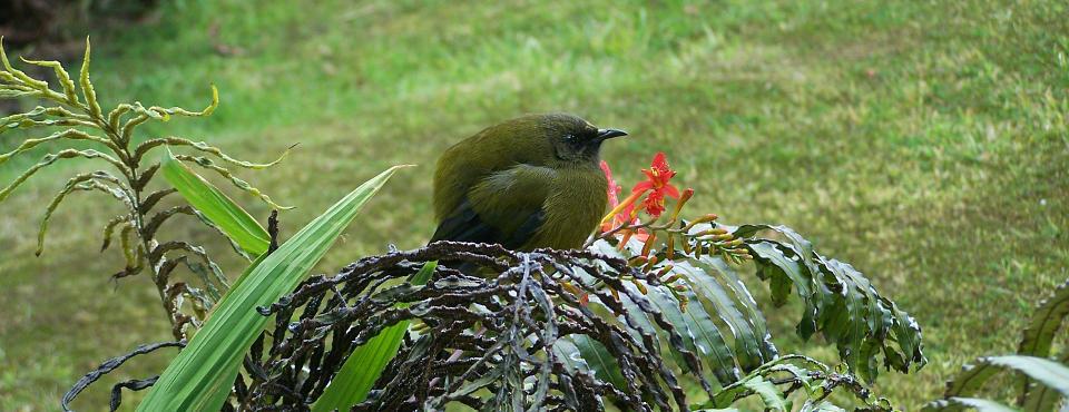 Bellbird visiting