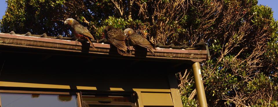 Kaka parrots visiting
